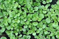 Salade de cresson Image stock