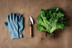 Salade de ferme avec des racines images libres de droits