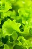 Salade de laitue photographie stock