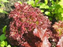 Salade de Lollo Rossa photographie stock
