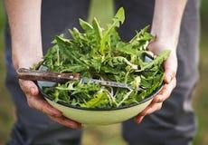 Salade de pissenlit dans des mains d'agriculteur Photo stock