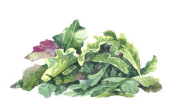 Salade de rucola d'aquarelle Photo stock