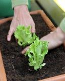 Salade die binnen aan de pot plant Royalty-vrije Stock Afbeeldingen