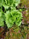Salade in een hoog tuinflard stock afbeelding