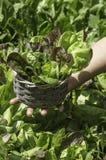 Salade in een mand Royalty-vrije Stock Foto's
