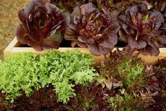 Salade fraîche dans les lits en bois Jardinage compétent photo stock