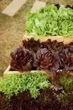 Salade fraîche dans les lits en bois Jardinage compétent photo libre de droits
