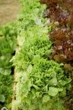 Salade fraîche dans les lits en bois Jardinage compétent images stock