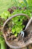 Salade fraîche dans un panier Photos stock