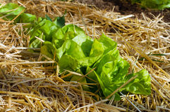 Salade het groeien Royalty-vrije Stock Afbeelding
