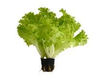 Salade, laitue photo stock