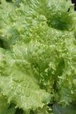 Salade met Water Stock Afbeelding