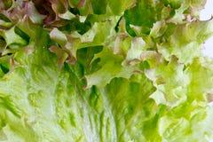 Salade-Nahaufnahmeschuß Stockfoto