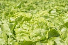 Salade op een bed Stock Foto