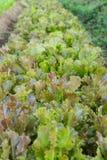 Salade rouge organique de laitue de Batavia dans le jardin images libres de droits