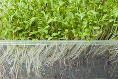 salade vert micro avec des racines dans un récipient en plastique, plan rapproché Désintoxication et perte de poids photos stock