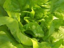 Salade verte Images stock