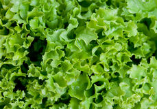 Salade verte Photos libres de droits