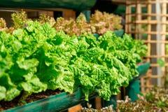 Salade verte fraîche, organique Photographie stock libre de droits