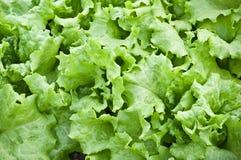 Salade verte fraîche Image stock
