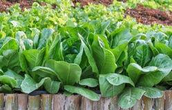 Salade verte organique fraîche de légumes dans la ferme pour la conception de l'avant-projet de nourriture biologique et d'agricu image libre de droits