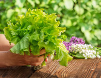 Salade verte, récolte Photographie stock