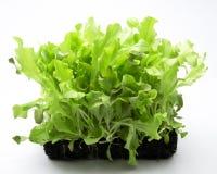 Salade vivante fraîche Images libres de droits