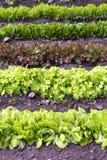 Saladebladeren Royalty-vrije Stock Afbeelding