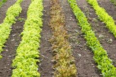 Saladebladeren Stock Fotografie