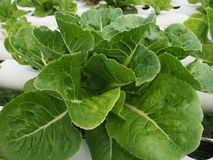 Saladebladeren Stock Afbeelding