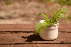 Saladeinstallatie in pot Royalty-vrije Stock Foto's