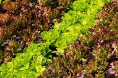 Salades croissantes Images libres de droits