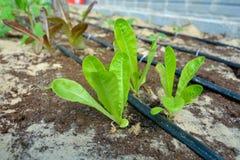 Salades in tuin met druppelbevloeiing Royalty-vrije Stock Foto