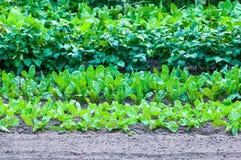 Salads field in garden. Organics salads growing in garden Stock Photo