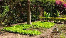 Salads growing in a garden Stock Photos