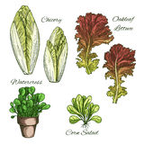 Salads and leafy vegetables vector icons set Royalty Free Stock Photography