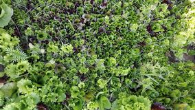 Salads. Organic lettuce in their infancy Royalty Free Stock Photo