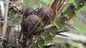 Salak,蛇果树栽培在树 巴厘岛,印度尼西亚 影视素材