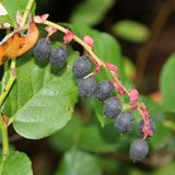 Salal Berries Stock Photo