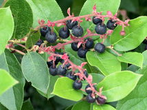 Salal Berries - Gaultheria Shallon Stock Images