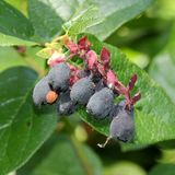Salal Berries Stock Image