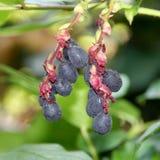 Salal Berries Stock Photography