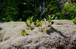 Salal het groeien door dik mos en korstmos Stock Foto
