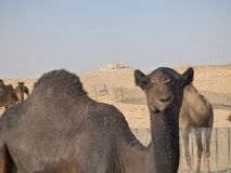 Oman, Salalah, meeting with a black camel in the desert. Royalty Free Stock Photo