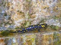 Salamadra-Salamandra allgemein der Feuer Salamander stockfotos
