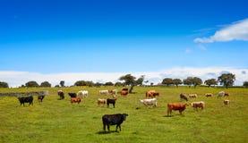 Salamanca obszaru trawiastego krów bydło w Dehesa Obraz Royalty Free
