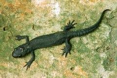 Salamander στην πέτρα στοκ φωτογραφία με δικαίωμα ελεύθερης χρήσης