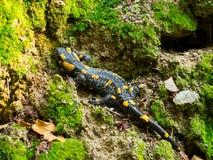 Salamander στη φύση στοκ φωτογραφία