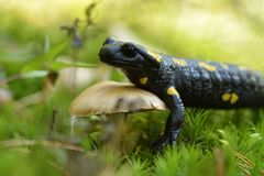 salamander Photos libres de droits