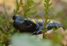 salamander Fotografie Stock Libere da Diritti